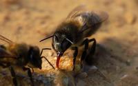 Bees wallpaper 1920x1080 jpg