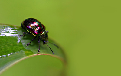 Beetle on a leaf wallpaper