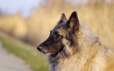 Belgian Tervuren wallpaper