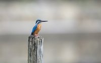 Belted kingfisher on a pillar wallpaper 2560x1600 jpg