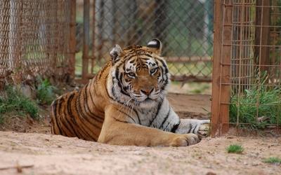 Bengal tiger [3] wallpaper