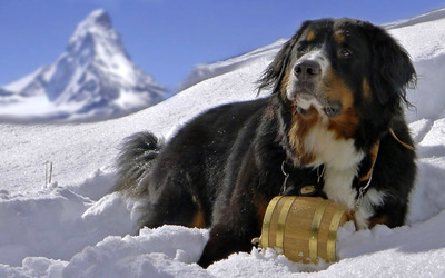 Bernese Mountain Dog wallpaper