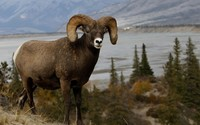 Bighorn sheep wallpaper 1920x1080 jpg