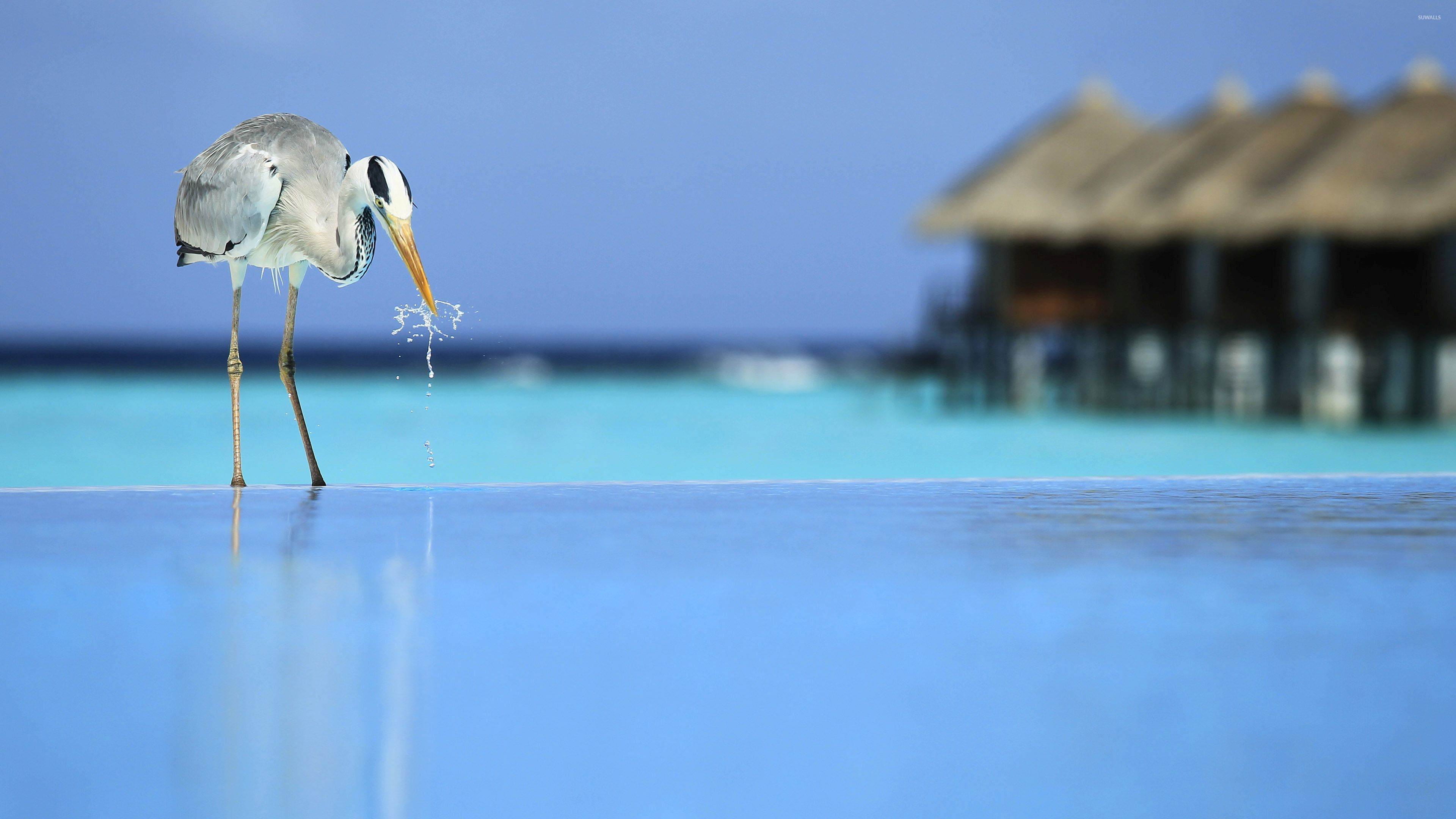 Bird drinking water from the pool wallpaper Animal wallpapers