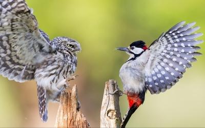 Birds fighting wallpaper