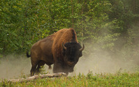 Bison [2] wallpaper 1920x1200 jpg