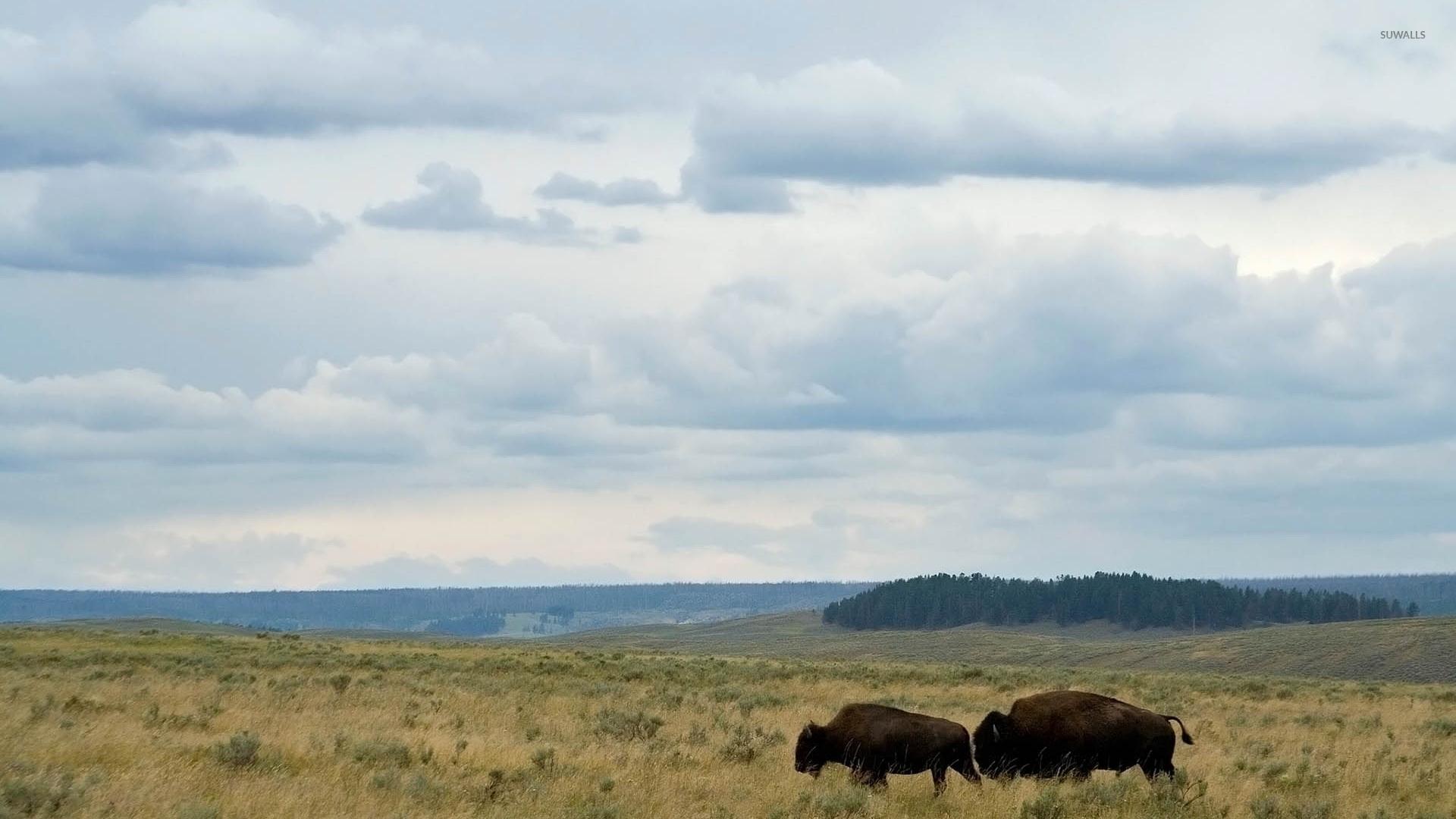 Fantastic Bison Wallpaper - bison-on-a-field-52100-1920x1080  Gallery_924562.jpg
