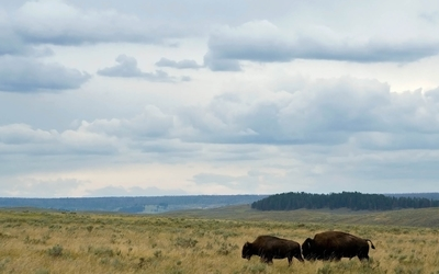Bison on a field wallpaper