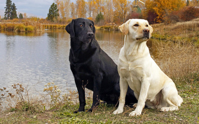 Black and golden Labradors on the lake side wallpaper