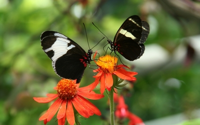 Black and white butterflies with red dots wallpaper