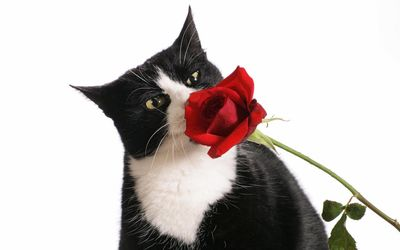 Black and white cat sniffing a red rose wallpaper