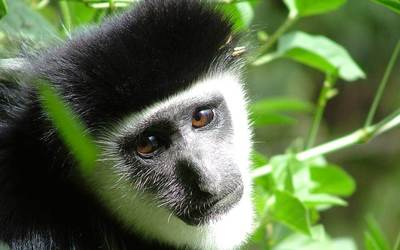 Black-and-white colobus wallpaper