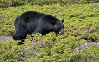 Black bear walking through the green small plants wallpaper 1920x1200 jpg