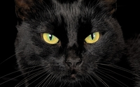 Black cat with yellow eyes wallpaper 2560x1600 jpg
