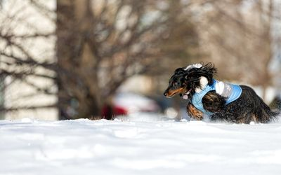 Black dog running in snow wallpaper