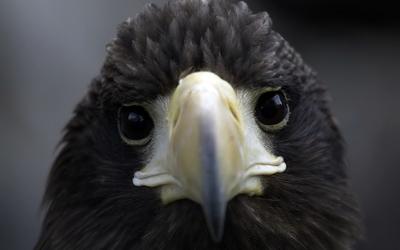 Black eagle [2] wallpaper