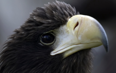 Black eagle wallpaper
