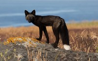 Black fox wallpaper 1920x1200 jpg