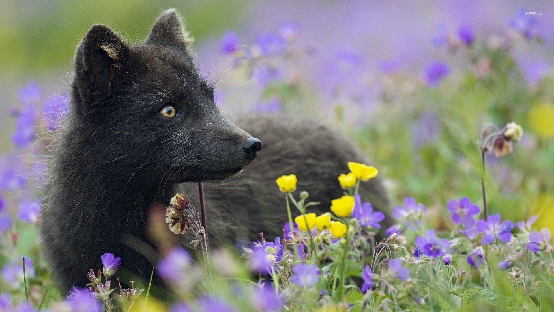 Black Fox 2 Wallpaper Animal Wallpapers 32750