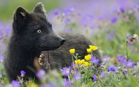 Black Fox [2] wallpaper 1920x1080 jpg