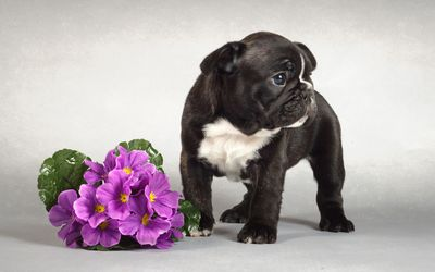 Black French Bulldog puppy near the purple bouquet wallpaper