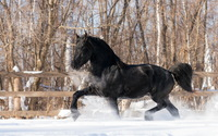 Black horse in the snow wallpaper 2560x1600 jpg