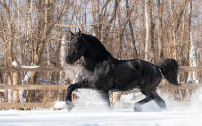 Black horse in the snow wallpaper
