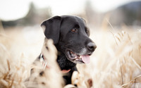 Black labrador wallpaper 1920x1200 jpg