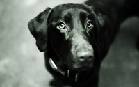 Black labrador [2] wallpaper 1920x1200 jpg