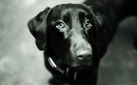 Black labrador [2] wallpaper 1920x1200 jpg