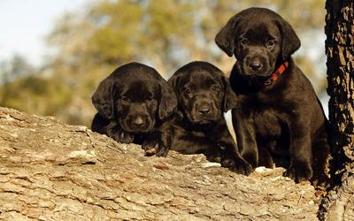 Black Labrador puppies in a tree wallpaper