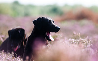 Black labradors wallpaper 1920x1200 jpg