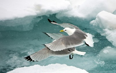 Black-legged Kittiwakes wallpaper