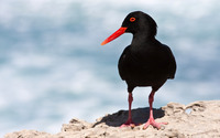 Black Oystercatcher wallpaper 2560x1600 jpg