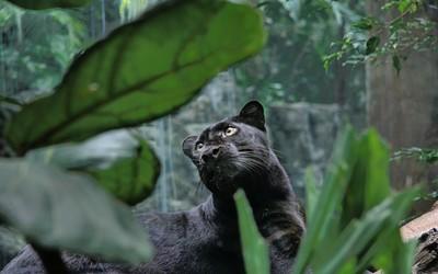 Black panther [2] wallpaper