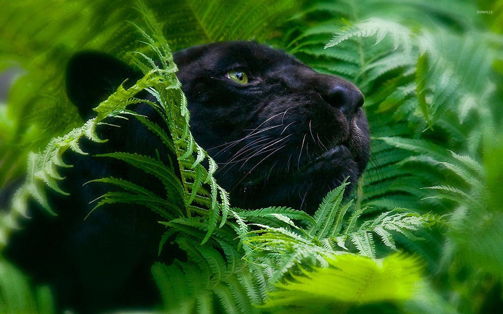 Black Panther 4 Wallpaper Animal Wallpapers 26931