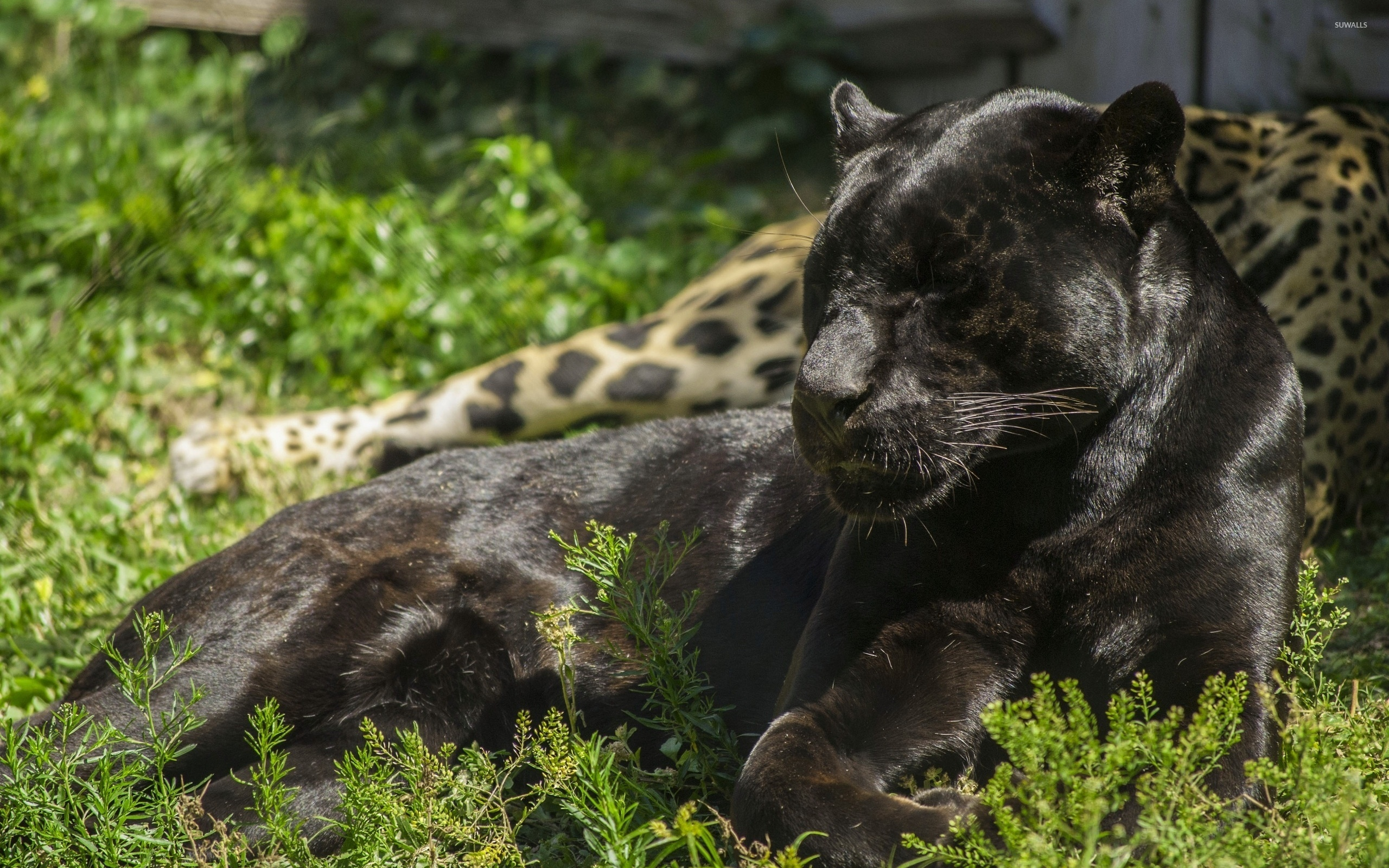 Black Panther Sleeping In The Grass Wallpaper Animal Wallpapers 47845