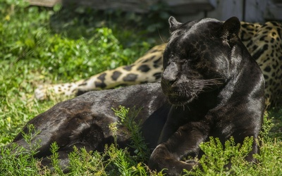 Black panther sleeping in the grass wallpaper
