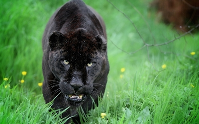 Black panther sneaking in the green grass wallpaper