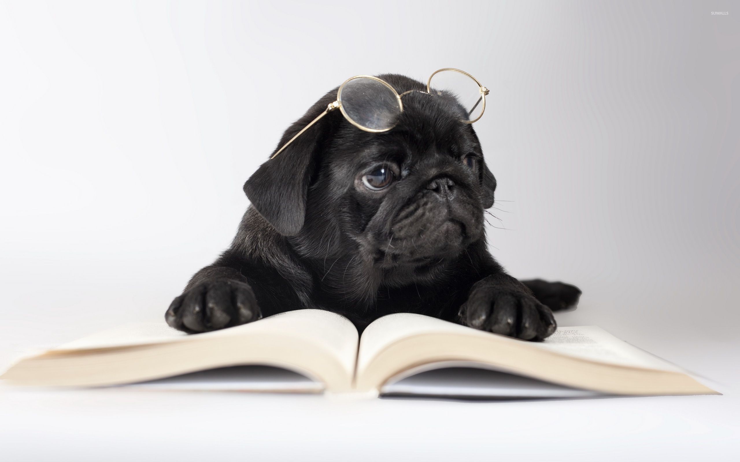Black Pug With Glasses Wallpaper 2560x1600 Jpg