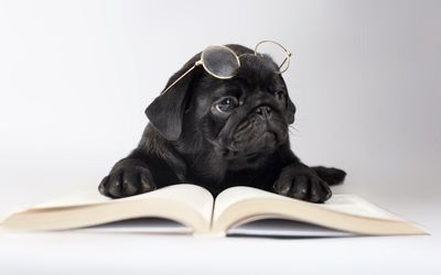 Black Pug with glasses wallpaper