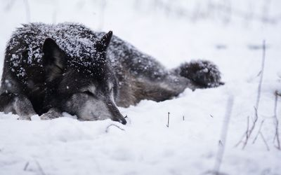 Black wolf sleeping in the snow wallpaper