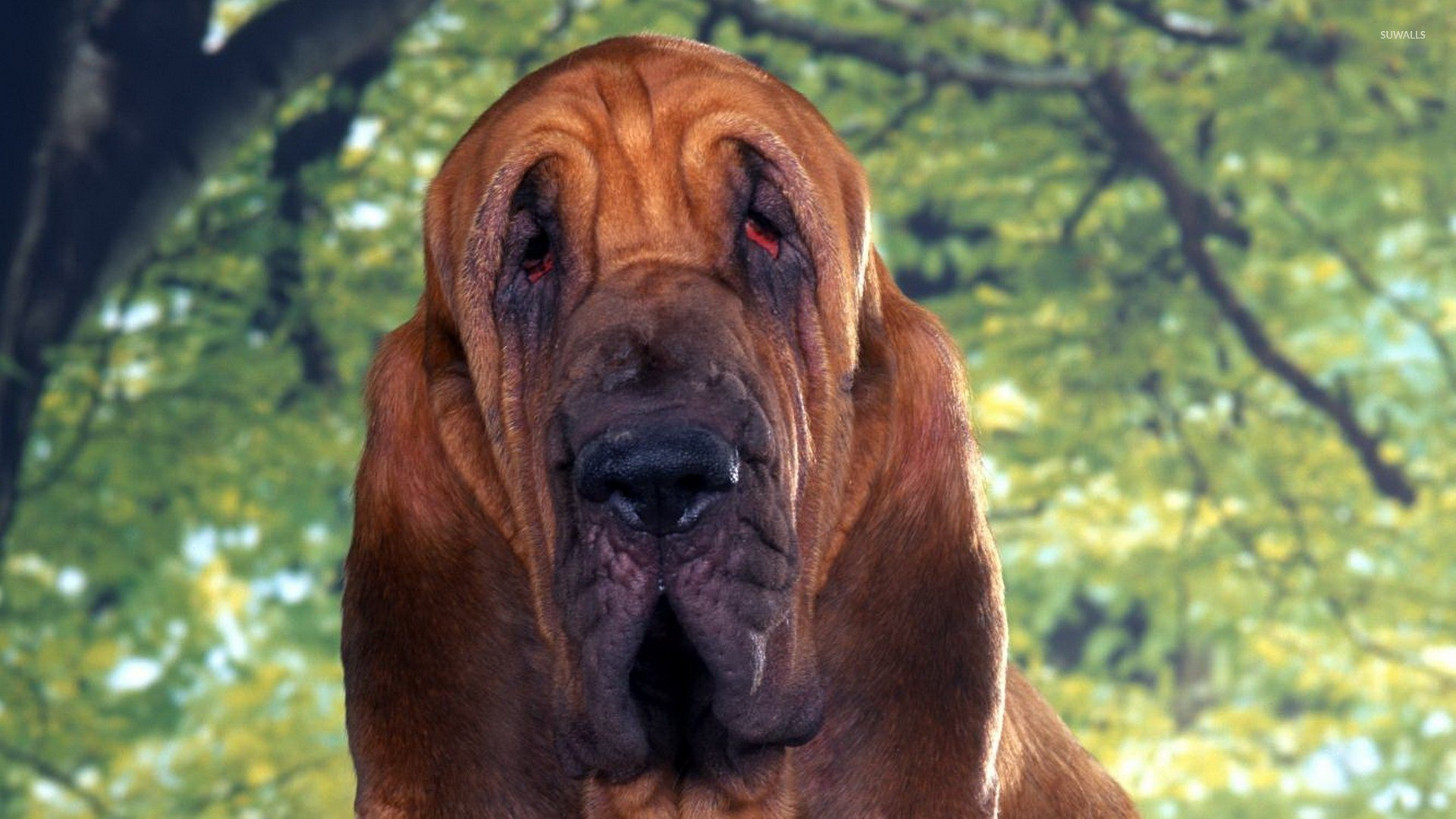 Bloodhound wallpaper - Animal wallpapers - #21850