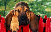 Bloodhound puppy wallpaper 2560x1600 jpg