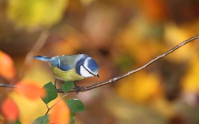 Blue and yellow bird Wallpaper