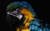 Blue-and-yellow Macaw [2] wallpaper 1920x1200 jpg