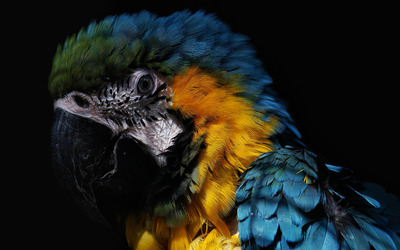 Blue-and-yellow Macaw [2] wallpaper