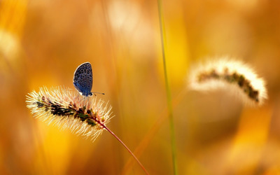 Blue butterfly [2] wallpaper