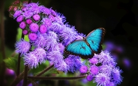 Blue butterfly wallpaper 1920x1080 jpg
