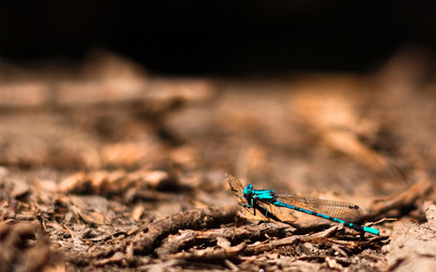 Blue dragonfly wallpaper